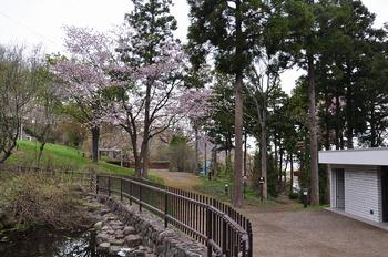 20130518_sakura05.jpg