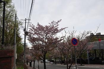 20130518_sakura08.jpg
